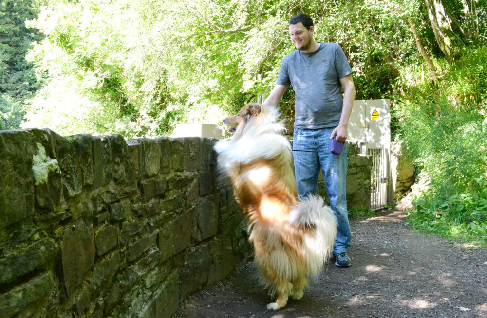 dog standing wall woods new lanark falls of clyde rough collie