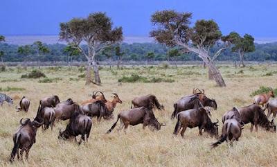 Antílopes, ñus y cebras en la sabana de Kenia