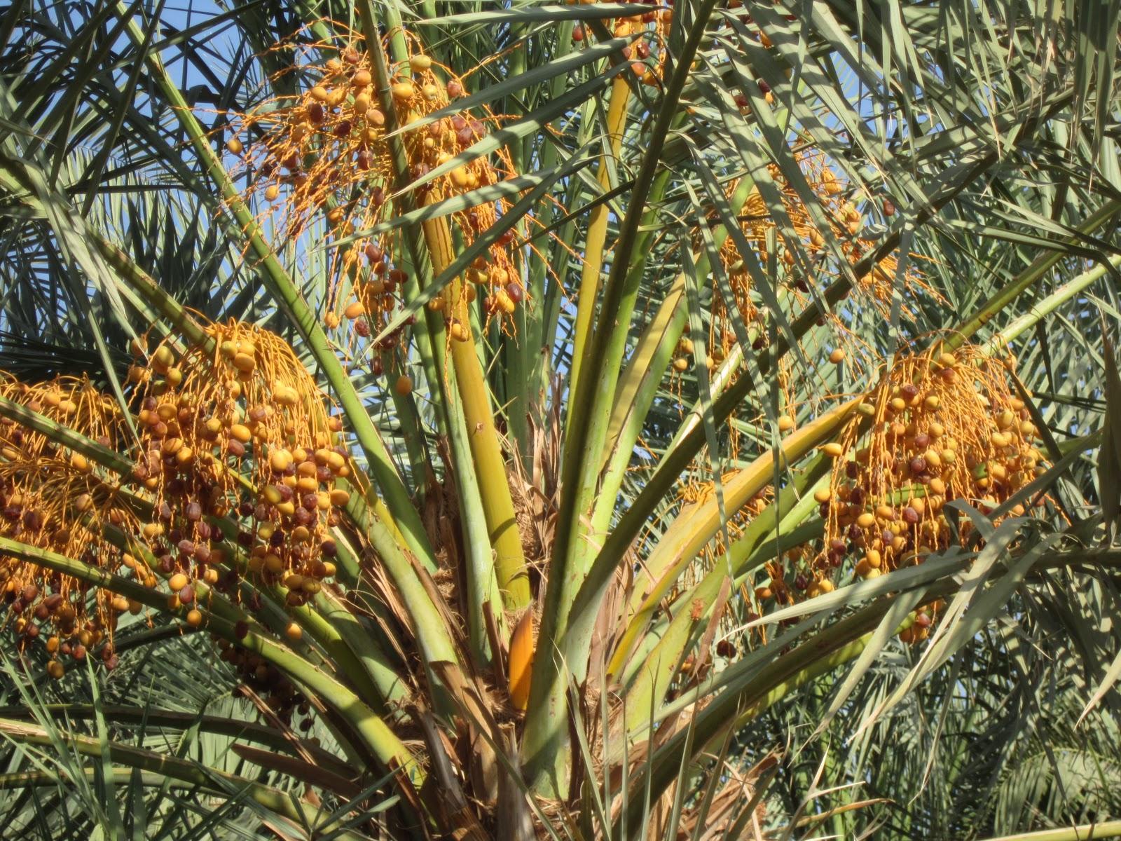 Gambar di atas menunjukkan pohon kurma yang sedang berbuah, dan