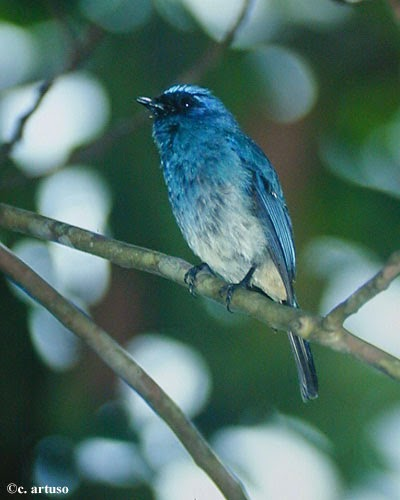 Foto Burung Selendang Terbaik