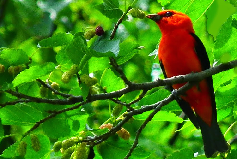 Image result for tree of red birds pic