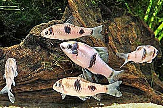 Panda Barb Fish