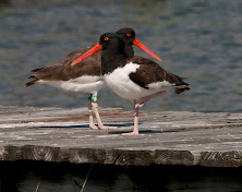 Have you seen a banded American Oystercatcher?