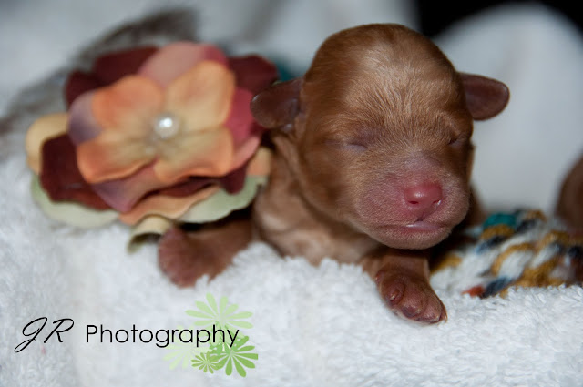 Newborn Born Baby Puppies wallpaper background