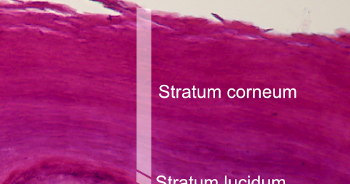 basal cell layer of epidermal skin - stratum basale (germinativum, Human Body