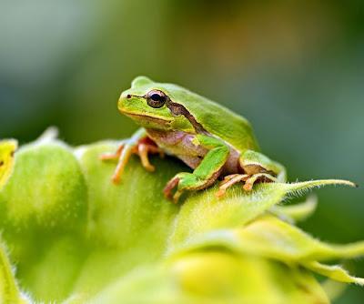 Bệnh Chytridiomycosis ở loài ếch