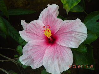 Pretty pink hibiscus close up