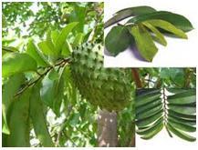 Obat Herbal Tradisional Alami Ace Maxs