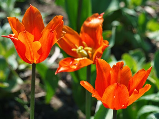 Orange, liljeformet tulipan i haven giver haven energi og dristigt look