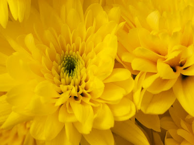 blue yellow flag chrysanthemum
