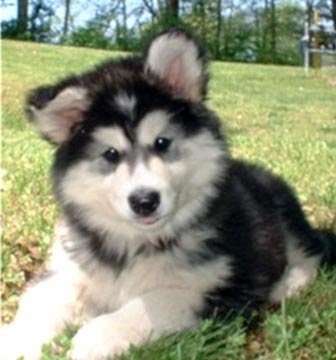 Malamute Puppies on Alaskan Malamute Puppies Photos   Puppies Pictures Online