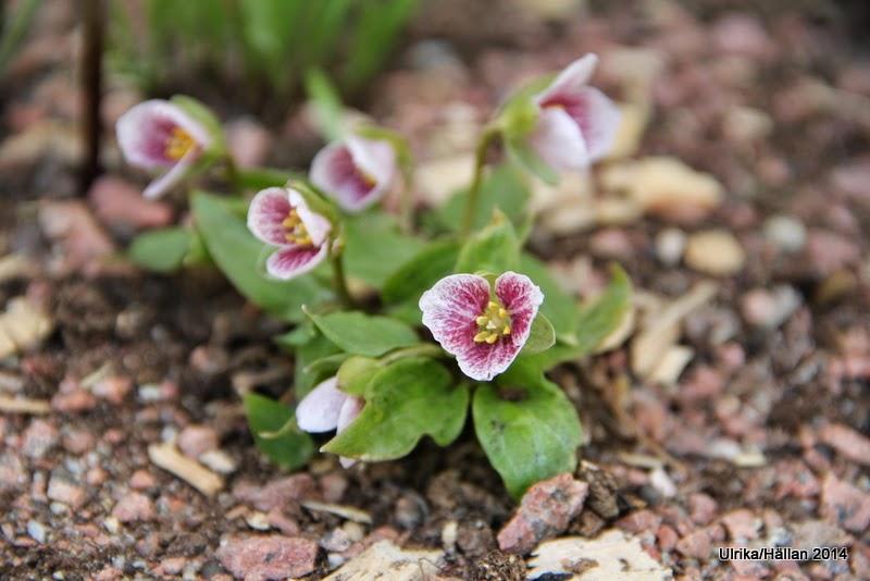 Trillium rivale Purple Heart