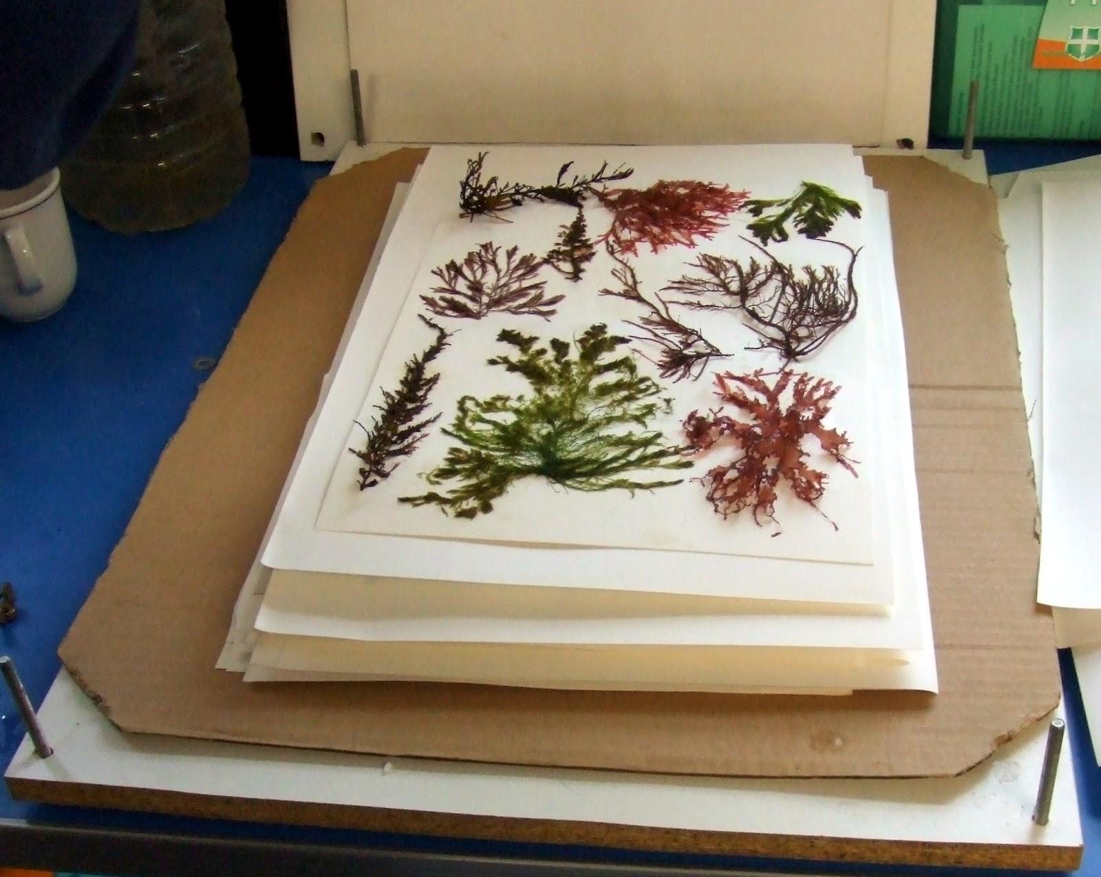 Mid life craftis seaweed pressing workshop dscf5155g mightylinksfo