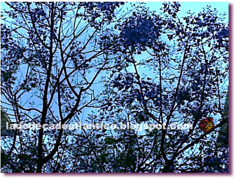 Imagem de arbustos em flor do jacarandá-mimoso, Lisboa