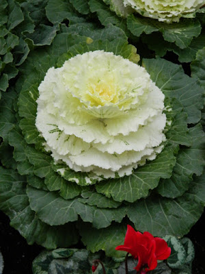 Allan Gardens Conservatory Christmas Flower Show 2015 white ornamental cabbage by garden muses-not another Toronto gardening blog