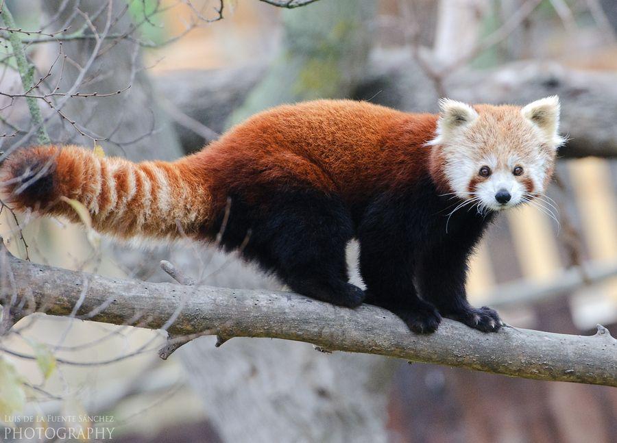 5. Red panda. by Luis de la Fuente Sánchez