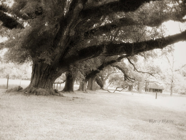Live Oaks in Natchitoches Parish, Louisiana