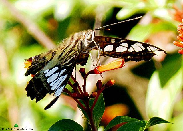 Clipper Buttefly