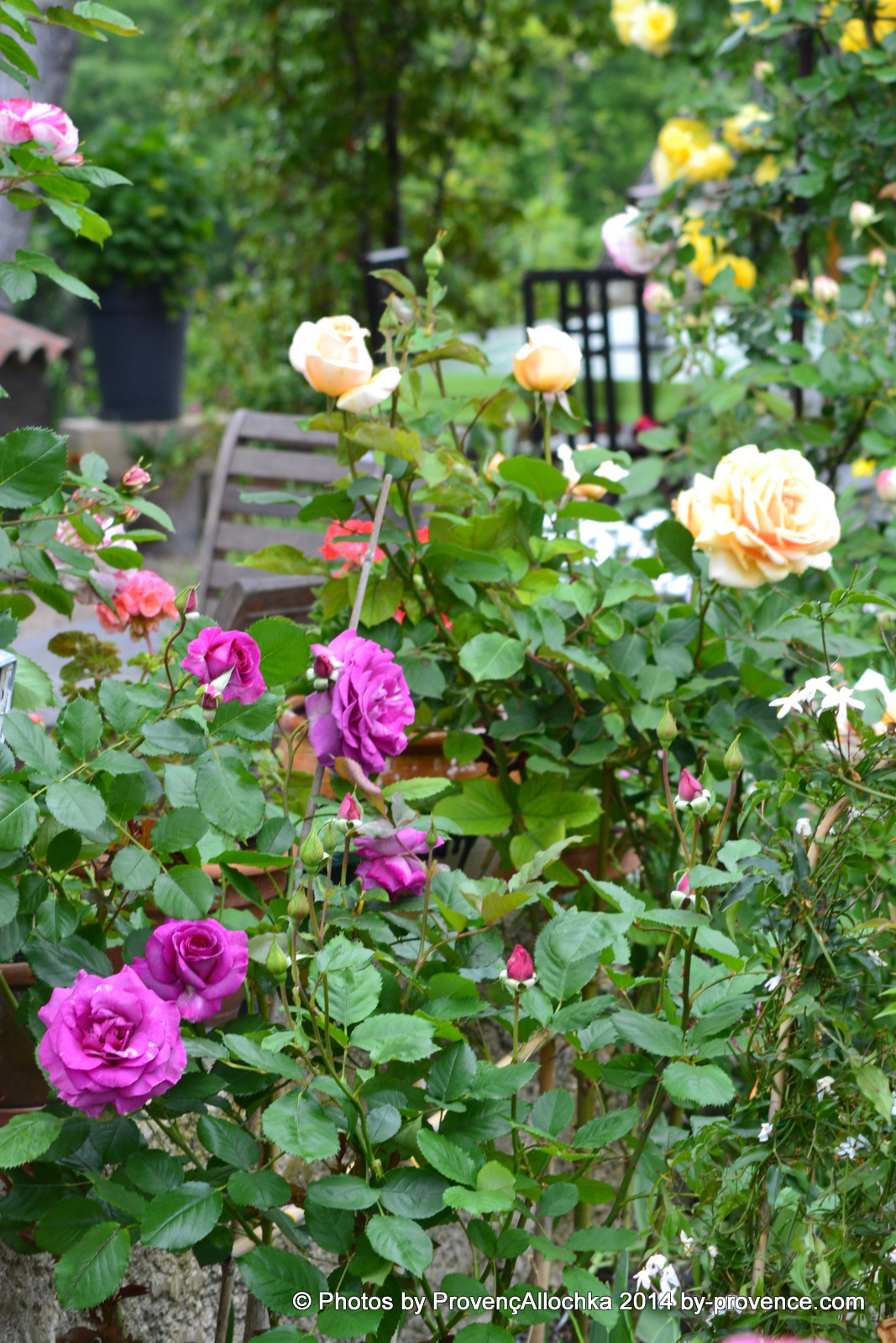 patio,Rose ,Renne, des, Violettes