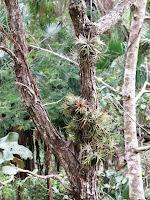 Tillandsia ionantha natural habitat Mexico