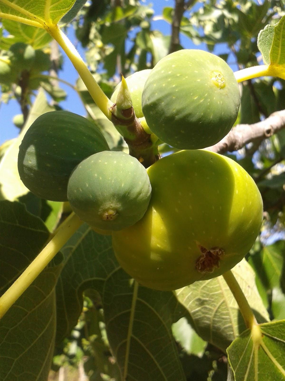 Il blog di sam frutti che in realt non lo sono i fichi for Quando piantare alberi da frutto