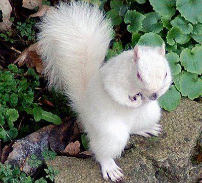 Γνωστός ως ο λευκός σκίουρος της