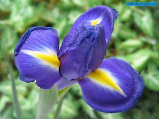صور زهرة السوسن روعة