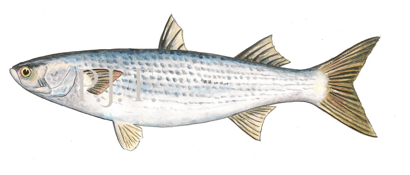 Small mullet fish small mullet fish small mullet fish for Mullet fish florida