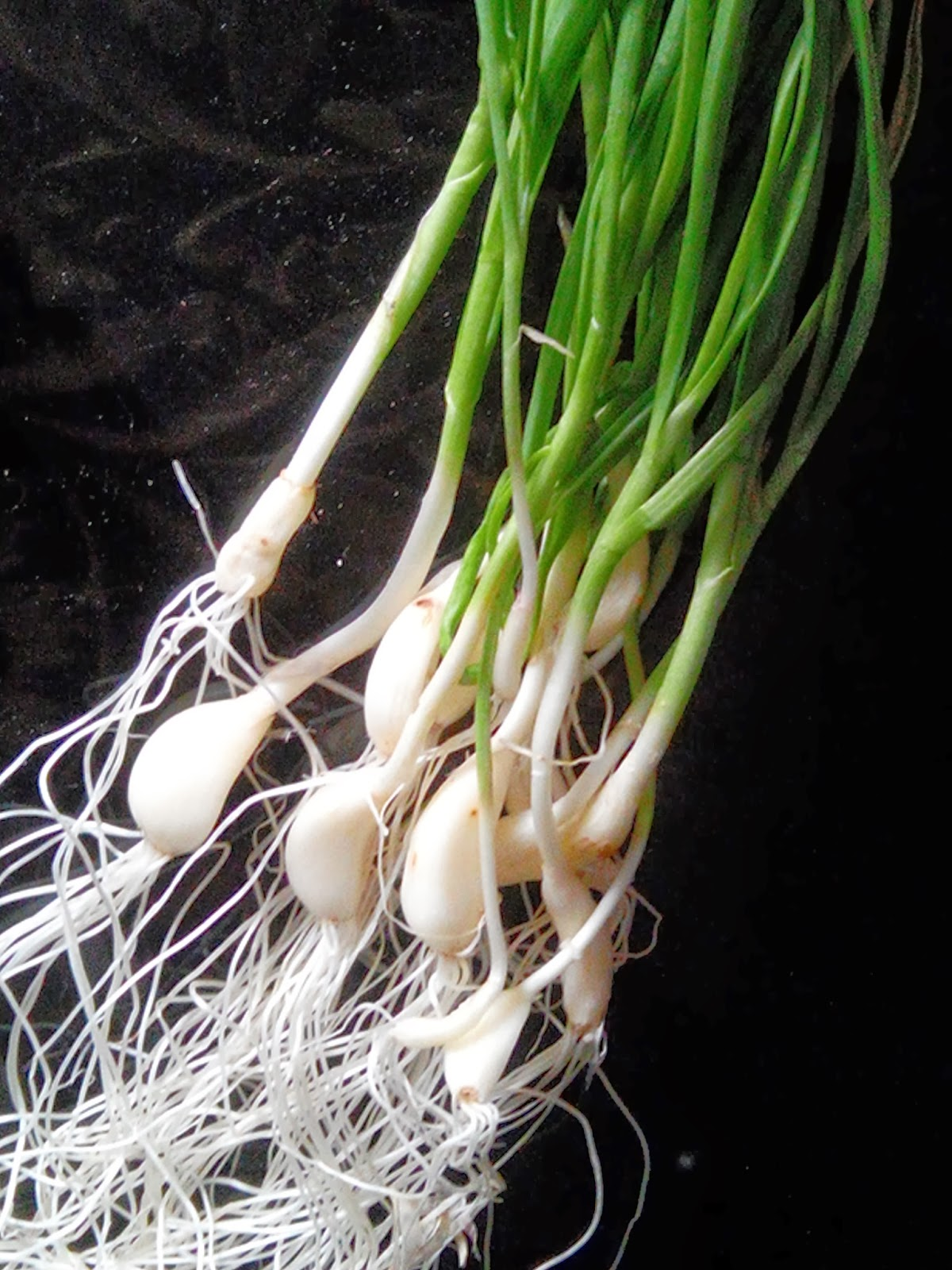 ... markets now a days green garlic available in winters generally green