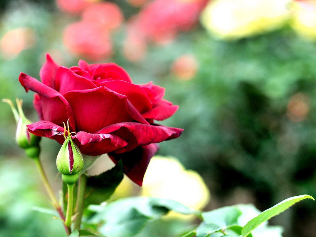 Free Flowers Photo And Wallpapers Red Rose Flowers Wallpapers