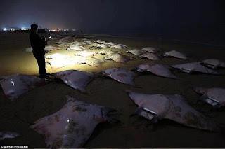 Fenomena Alam di Gaza Ikan Pari terdampar