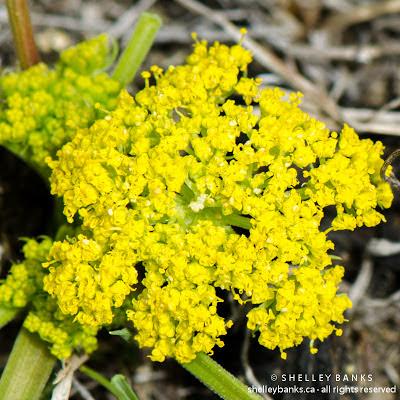 Leafy Musineon. Photo © Shelley Banks