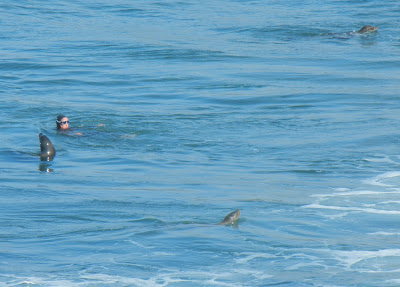Swimmer in open water with the seals!