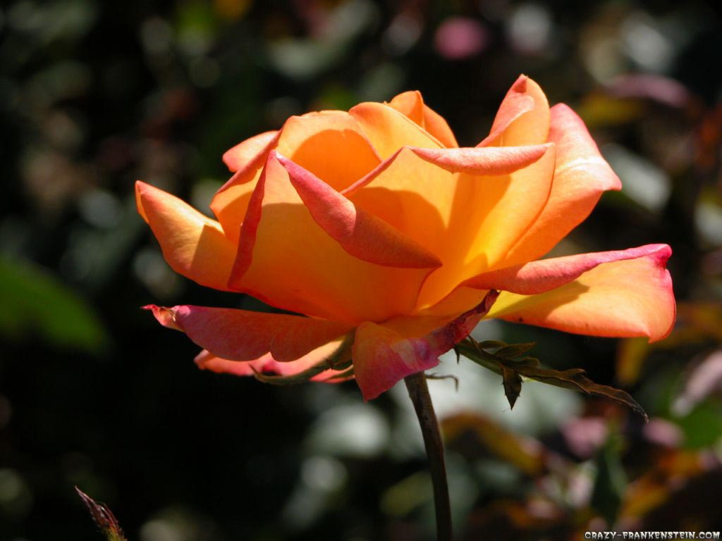 Orange Roses - WallpaperOrange Roses Wallpaper