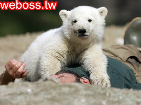 北極熊克努特 4歲1