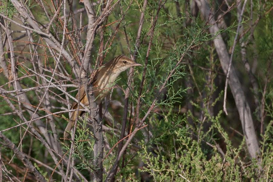 Indian (Clamorous) Reed Warbler