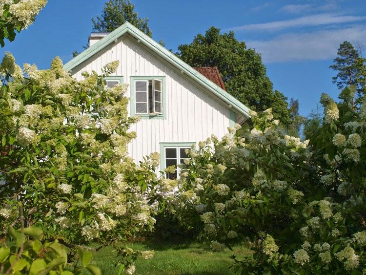 Hvidt gård og hvide syrenhortensia