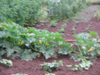 pumpkins, courgettes, cucumbers, gherkins, strawberries, raspberries