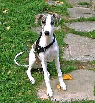 Whippet Puppies on Whippet Puppies Pictures   Puppies Pictures Online