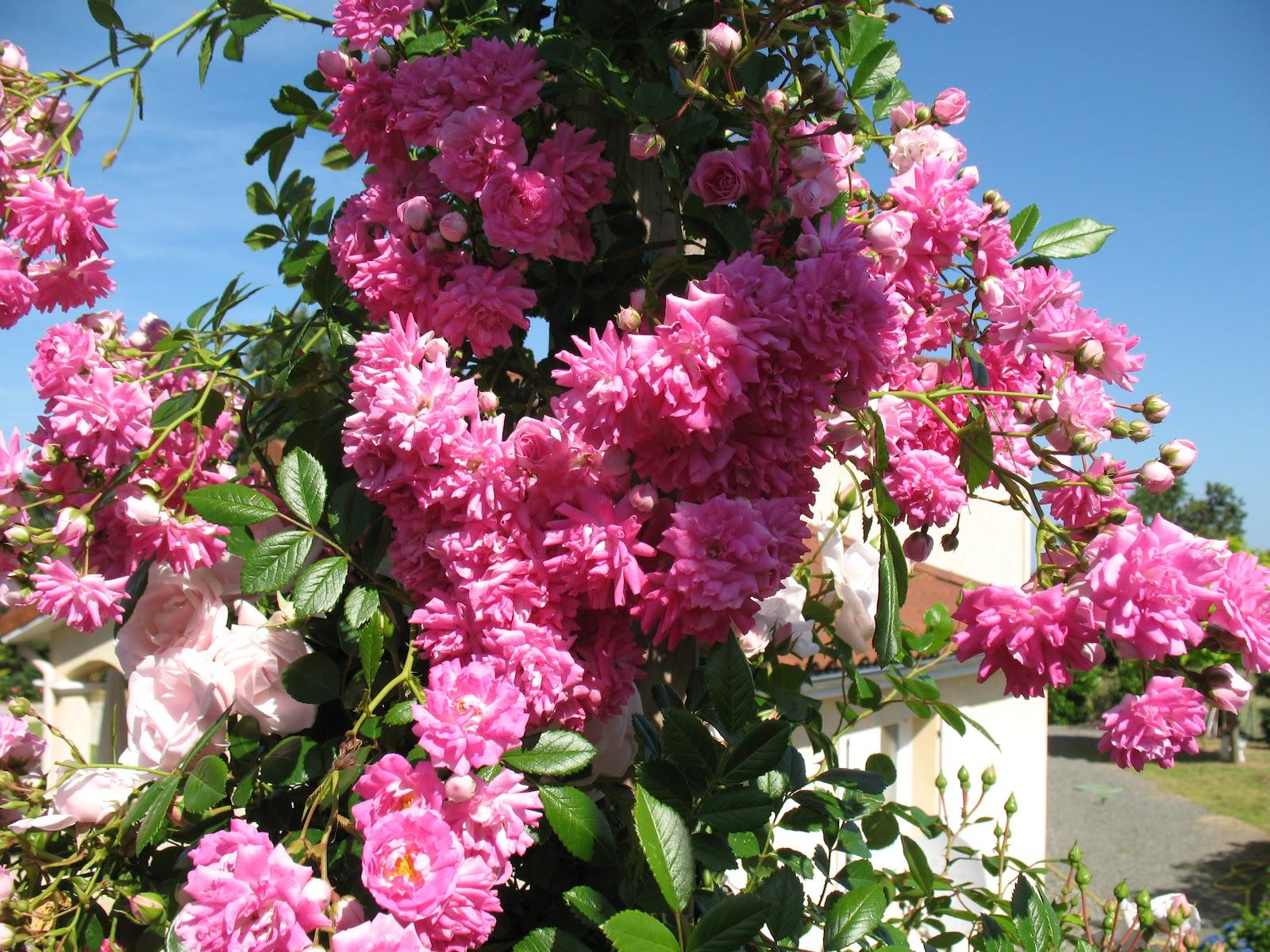 """Roses du jardin Chªneland Rosier """"Dorothy Perkins"""""""