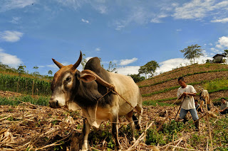 cow ploughing along contours of hill