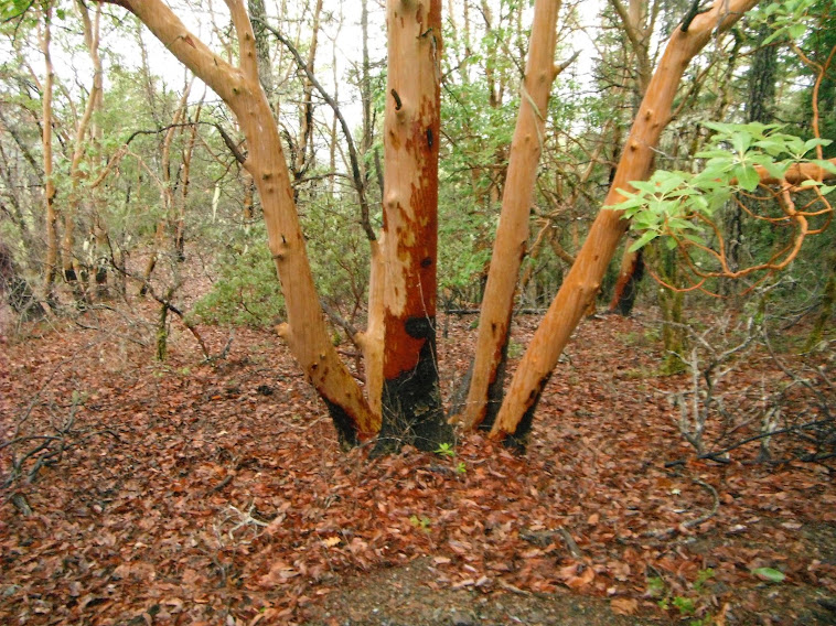 Madrone grove