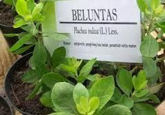 Info seputar tanaman baluntas untuk anda ketahui