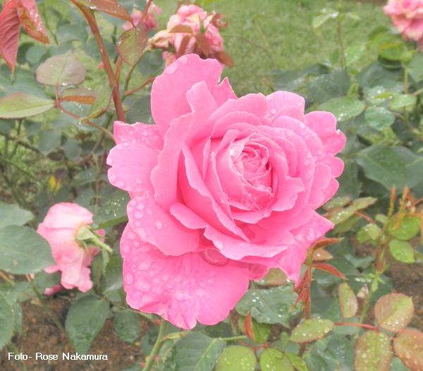 linda foto de rosa