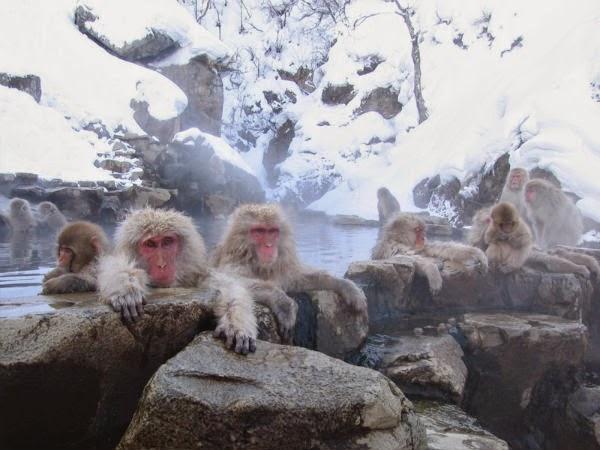 wisata jepang Jigokudani Monkey Park