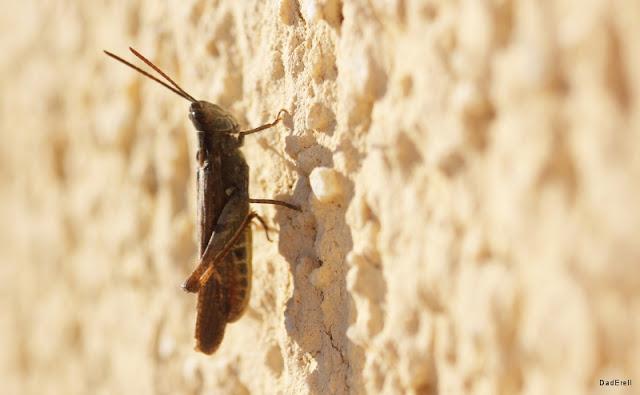Un grillon sur un mur