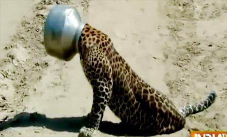 Leopard's head struck in a vessel while drinking water