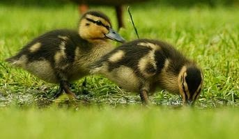 What To Feed Baby Ducks Care And Feeding Of Ducklings Site About Pregnancy Baby Toddler