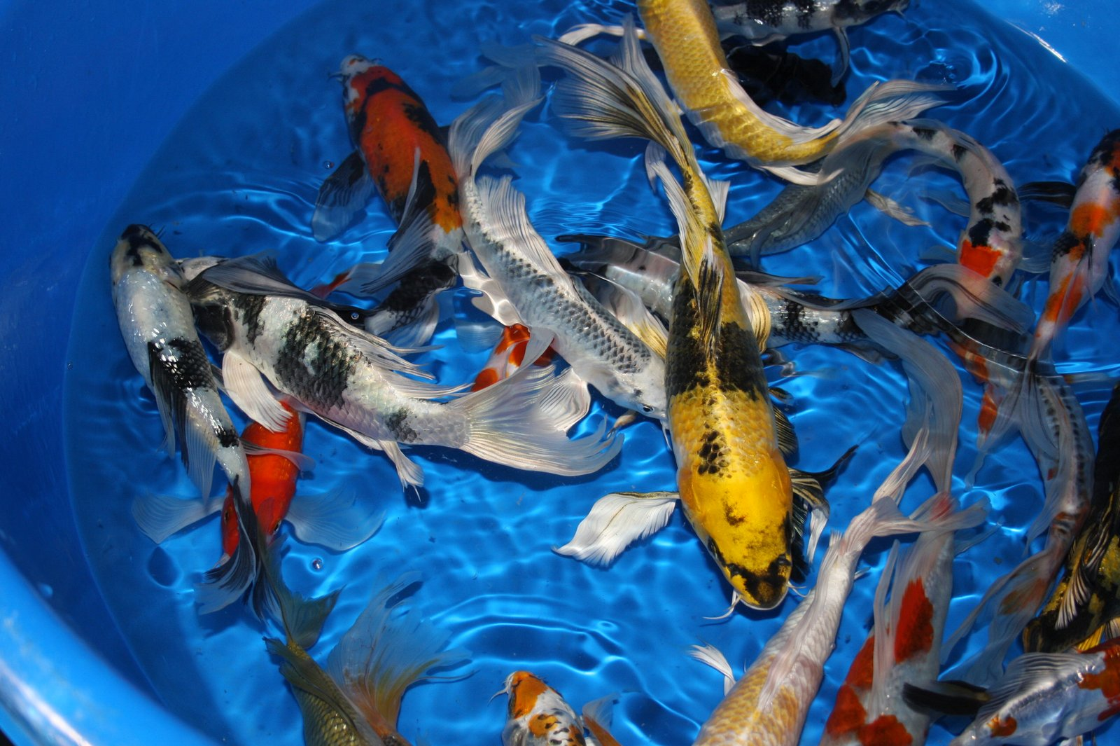 The Blackwater Blog Blackwater Creek Butterfly Koi
