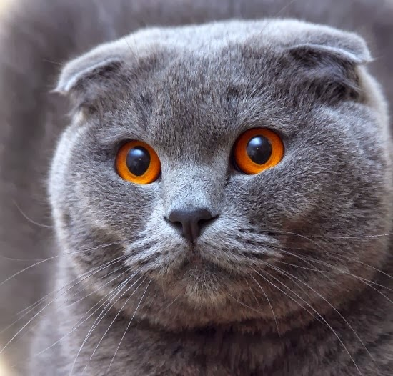 Scottish Fold Cat History
